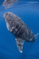 Whale Shark going vertical