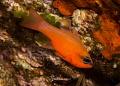 simply red........ Apogon imberbis