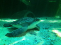 Turtle in Two Oceans Aquarium, V&A Waterfront, Cape Town, South Africa
