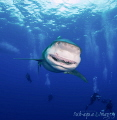 The thankful smile of an Oceanic White Tip female shark.  I think she is saying