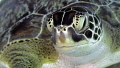 Green Sea Turtle Portrait