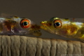 Goby pair on whip coral, no crop