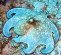 Octopus - Glovers Atoll, Belize