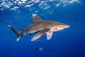 Oceanic white tip shark with fish hook in his mouth