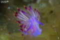 Roaming unusual grounds...  this Flabellina was on kelp moving very fast