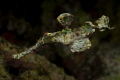 Ghostpipefish