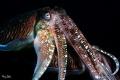 Cuttlefish taken at Phi Phi Islands Hin Klai. Sony NEX-7 Nauticam Housing 2*z240 f1/10, 1/80sec. ISO-100