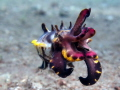 Flamboyant Cuttlefish. Shot at around 6m.