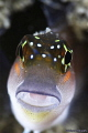 Blenny from UAE