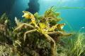 Naxia aurita  Kangaroo island  south Australia