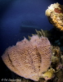 ON the house reef at Habitat Bonaire I found this beautiful vase sponge.