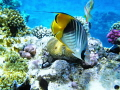 Threadfin butterflyfish.depth 1 35m