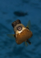 Kiss Please    Smooth Trunkfish
