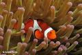 Nemo alone at home   Nabucco Nunukan  Indonesia