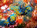 Two tambja nudibranches in the Poor Knights