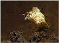 lets jump little barongsai (Hypselodoris infucata)