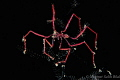 Spider crab in night dive.