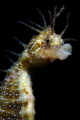 Seahorse with a skeleton shrimp on the head