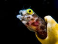 Secretary Blenny -  Popping out.   Olympus EM-1 using 60mm Macro and 2xULC 165 m67 twin Inon Z240 Manual ; ISO 250, f 18, 1/320  - No Cropping but colour and slight backscatter removal in LR