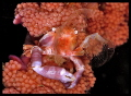 softcoral crab eating
