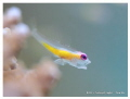 Flying Pink-eye Goby Yawns