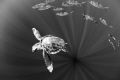 Caretta Carreta turtle in open ocean.