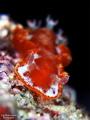 Hexabranchus sanguineus
