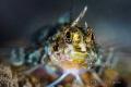 Mediterranean Triplefin goby