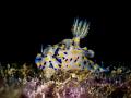 Just Grazin . Nudibranch   Hypselodoris kanga. Chaloklum  Thailand EM5 Oly 60mm 1/125 f8 iso100 UCL165 H2oToolsx2  Inon D2000x2
