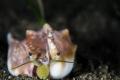 S M I L E  Strombus vomer  Euprotomus vomer  Anilao  Philippines. June 2014