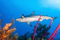 Only my second time photographing sharks  I can t wait to do it again   Photographed on the East end of Grand Cayman.