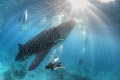 Whale shark Santander Philippines