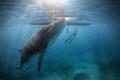 Whale shark Santander Philippines