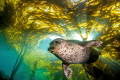 Out Of The Light. This harbor seal bursts from the kelp canopy in a burst of sunlight.  Taken with a Canon T41 and 10 22mm zoom in Ikelite housing with dual DS51 strobes.