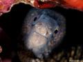 curious Moray