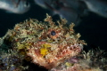 Scorpionfish rests on the edge of a reef ledge as it's prey swim above unaware.