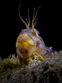 A Blenny is the star.