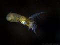 tiny pygmy squid caught a small shrimp