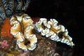 Double Glossodoris atromarginata in seraya secret.