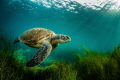 San Diego has a very small, roughly 60, population of Eastern Pacific green turtles, also known as Black turtles. There reason for calling San Diego home is a bit of a mystery but many believe they are escapees from a cannery for turtle meat that use