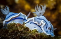 Nudibranches line
