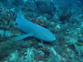 Large Nurse shark at the end of the dive, had to take a couple minutes of deco time to get down to take the shot. Beautiful 7' Nurse.