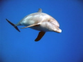 visite d'une famille de dauphin en fin de plongéé, magique!