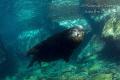 Male Sea Lion in the yard, La Paz Mexico