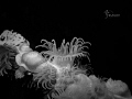 say hello to the world.......  Macro of a tiny white anemone