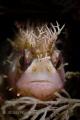 Good Hair Day!  Chirolophis nugator, Mosshead Warbonnet