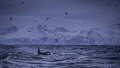 Looking for orcas on icy Norwegian days between the fjords.
