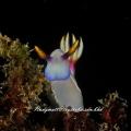 Thelenota ananas Was shot at sapi reef borneo