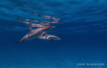 Spotted Dolphin mother and baby enjoying the pristine waters in Bimini