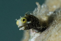 Secretary Blenny  Sigma 70mm with  10 wet diopter